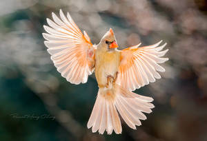 .:Angelic Cardinal:. by RHCheng