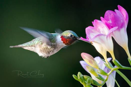 .:Hummingbird I:.