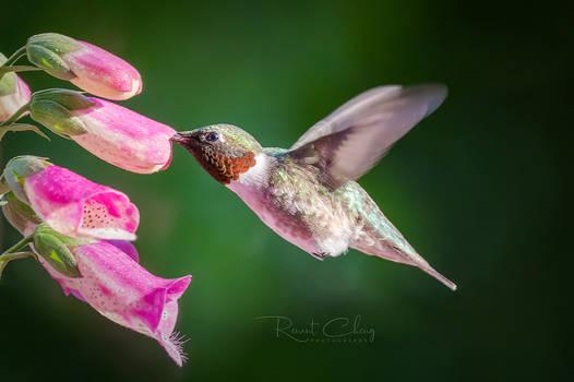 .:Hummingbird III:.