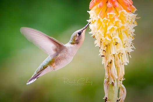 .:Hummingbird IV:.
