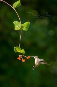 .:Flying Jewel XI:.
