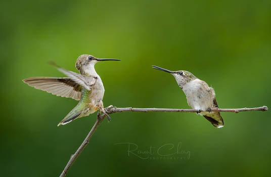 .:Dueling Hummingbirds I:.