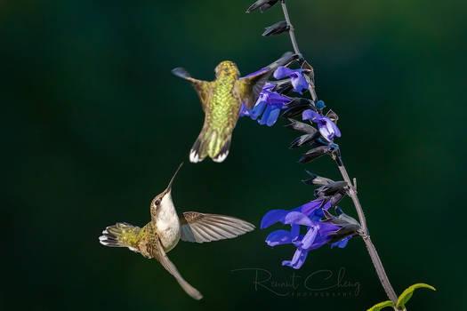 .:Dueling Hummingbirds II:.