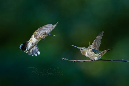 .:Dueling Hummingbirds III:.