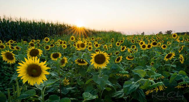 .:Sunflower Field:.