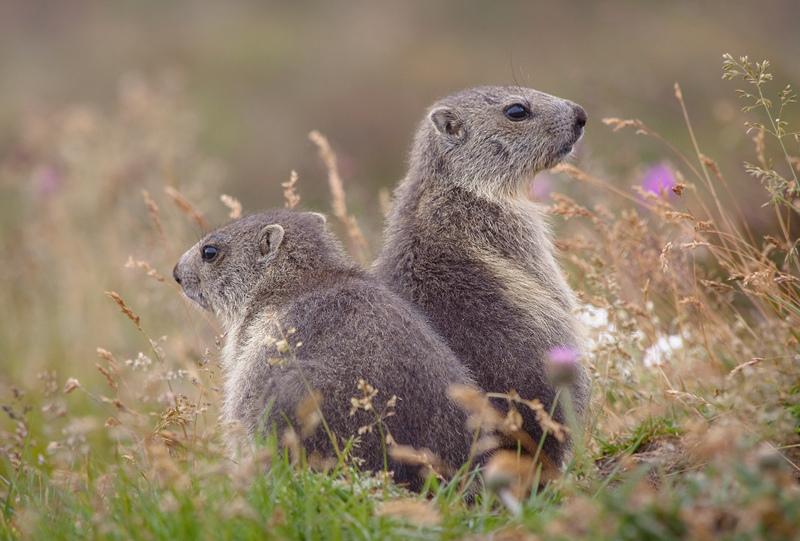 Baby Marmots by RobertoBertero