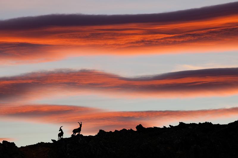 Alpine Ibexes Silhouette