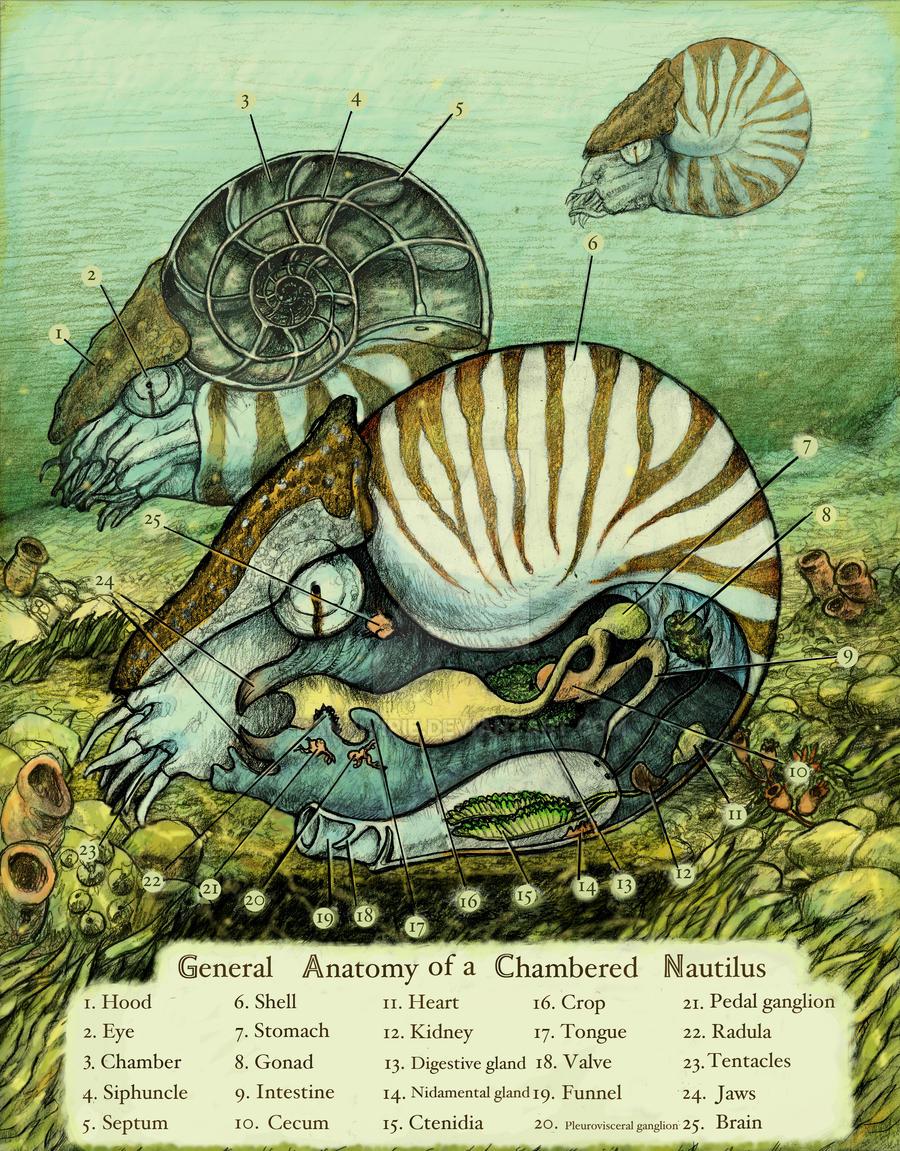 Nautilus Anatomy by Banvivirie