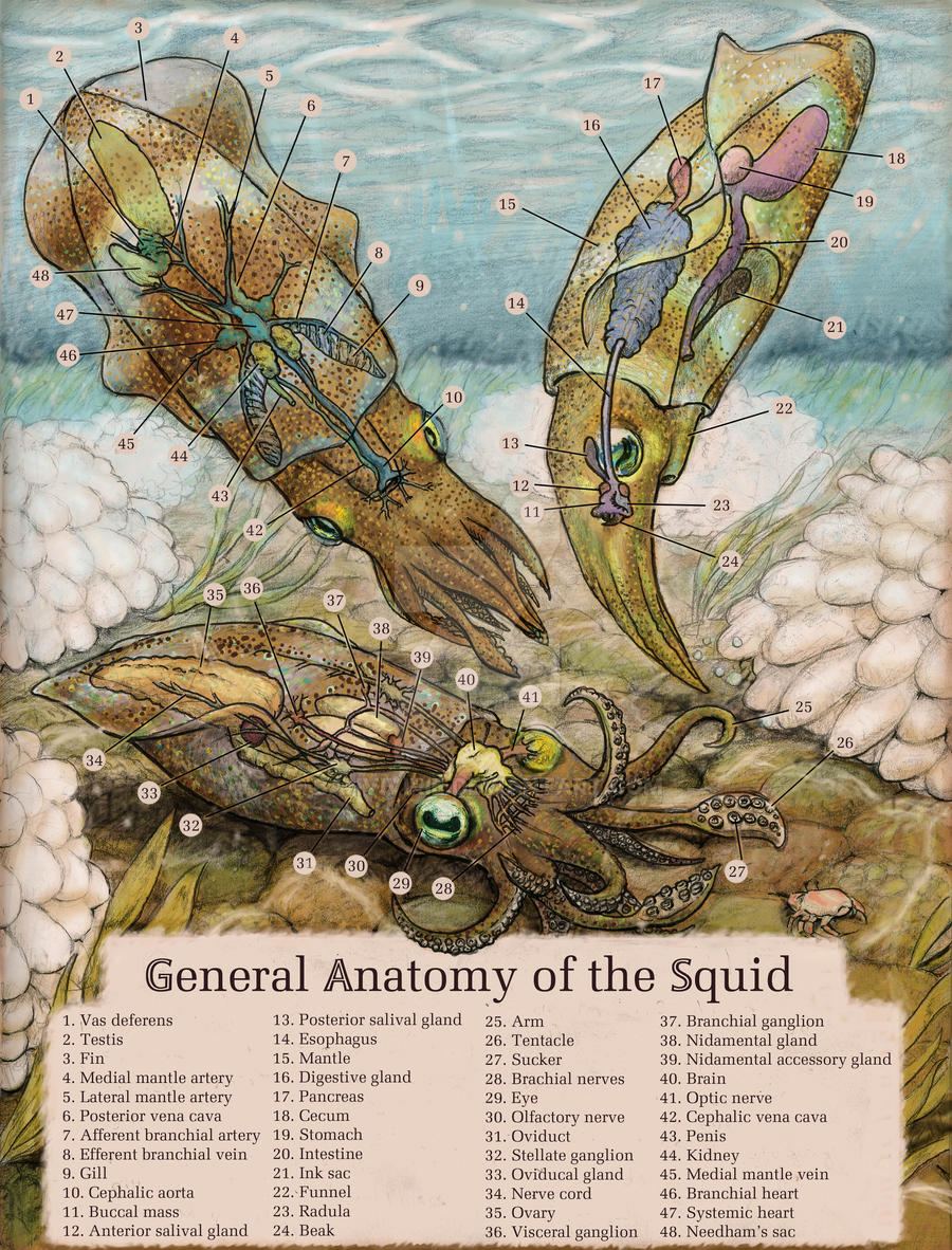 Squid Anatomy by Banvivirie
