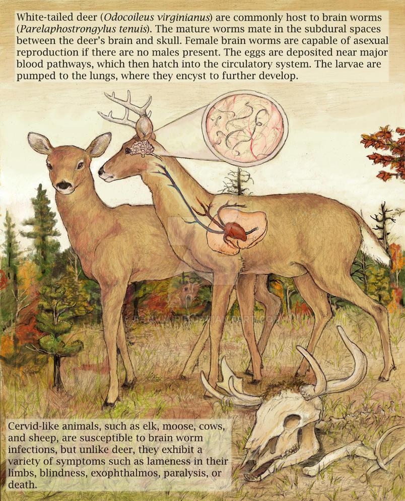 whitetail deer + brainworms I by Banvivirie on DeviantArt