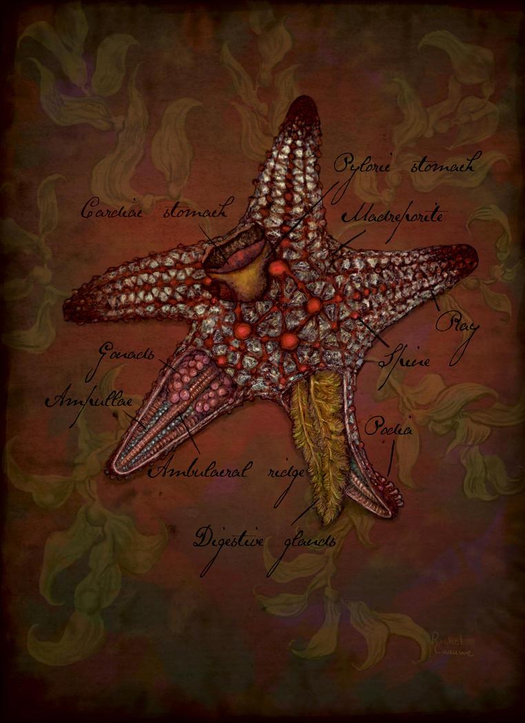 Starfish Anatomy by Banvivirie on DeviantArt