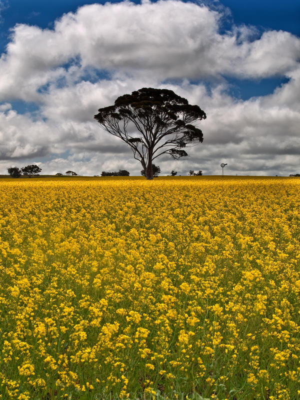 Fields of Gold by FireflyPhotosAust