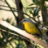 Eastern Yellow Robin by FireflyPhotosAust