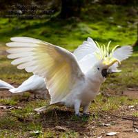 Dancing Cockatoo by FireflyPhotosAust