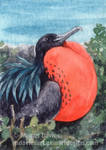 Frigate bird ACEO by Pannya
