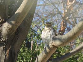 Juveniel Cooper's Hawk by 4chocolatemew