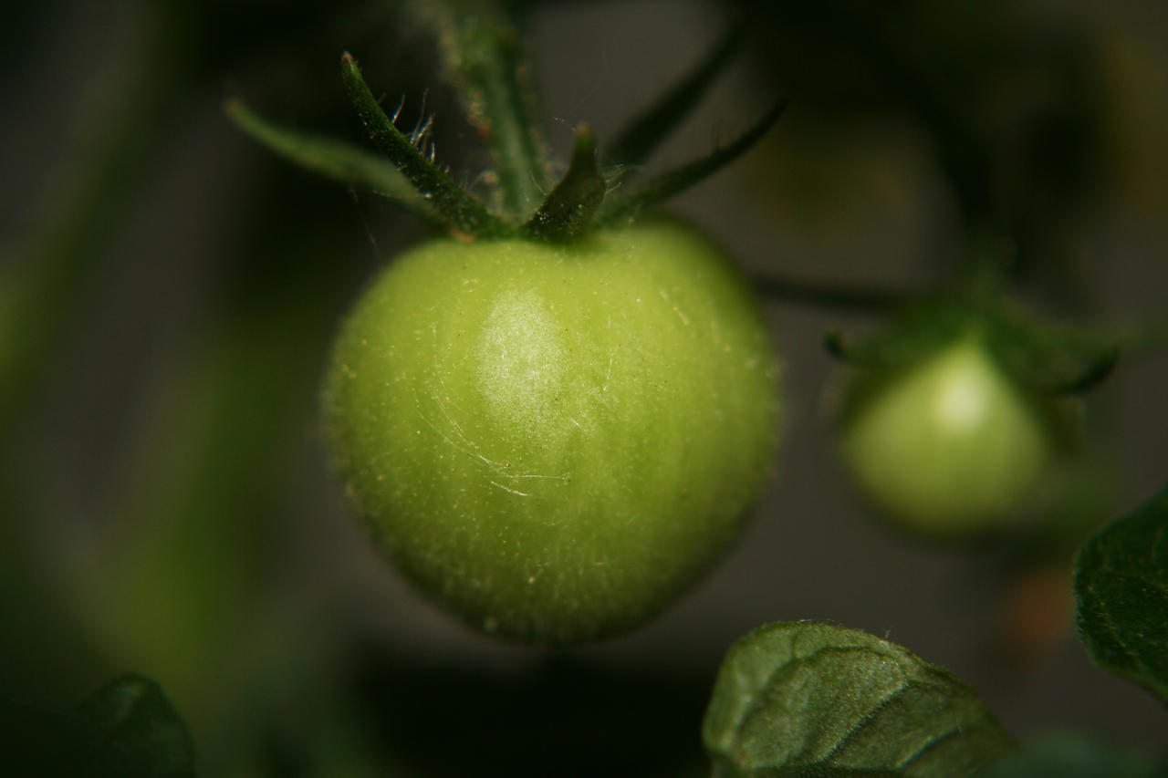 Green Tomatoes by Dramier