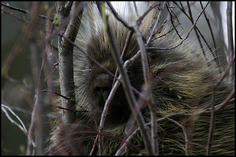 Porcupine, Alaska (2003) by hoshq