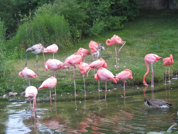 Flock of Flamingo's by ermlykieff on DeviantArt