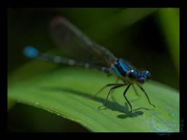 Blue-ringed Dancer by crocodiledreams