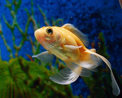 goldfish by paritosh