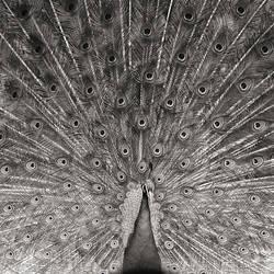 Peacock by allsoulsnight