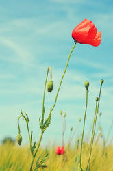 Poppy by allsoulsnight