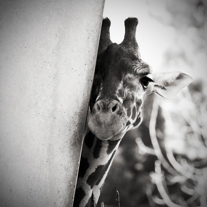 The Giraffe by allsoulsnight