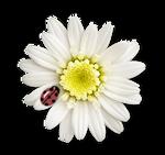 ladybird and flower