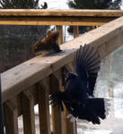 Bluejay thinks it's a Hawk