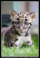 Clouded Leopard Cub Portrait 1 by UrsusAmericanus