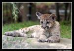 Cougar Cub by UrsusAmericanus