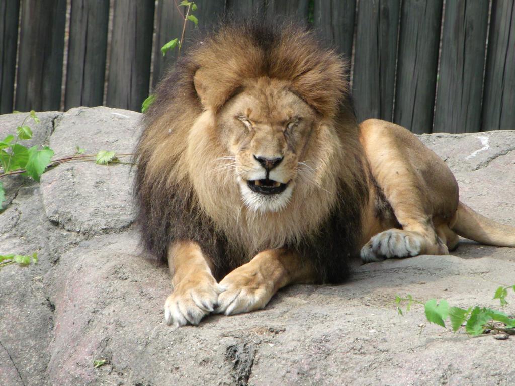 Pin Lionface on Pinterest