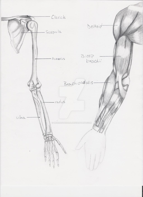 Sketched arm anatomy by MorinoTakara on DeviantArt