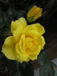 Stock: Yellow Rose