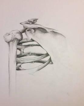 Study - Ribcage