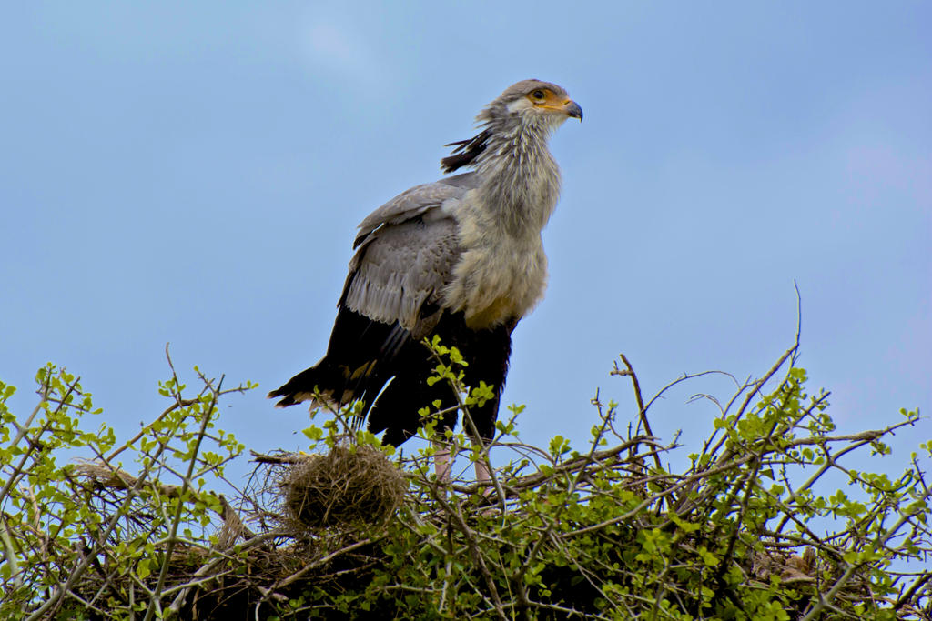 Secretary Bird by bobby192