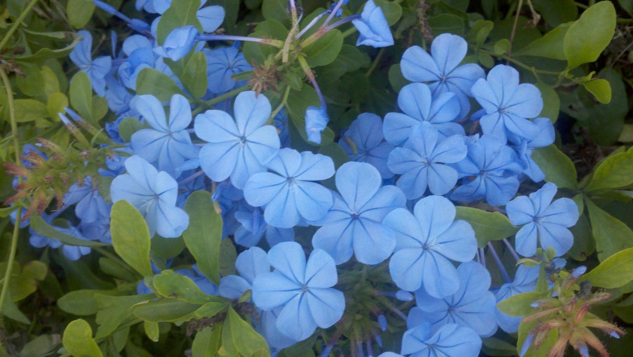 Little blue flowers by satsubatsuniwa on deviantart little blue flowers by satsubatsuniwa little blue flowers by satsubatsuniwa izmirmasajfo
