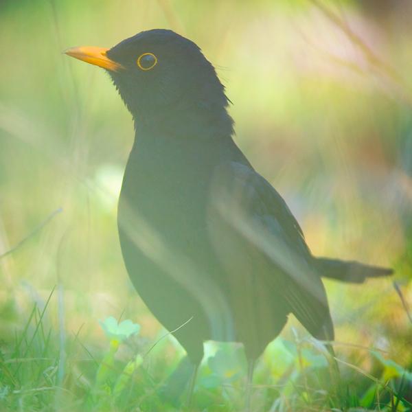 Les oiseaux Le_jardin_se_reveille_by_gwichin