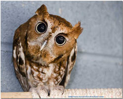 Peanut...an educational Screech owl now in spirit by tombojoy