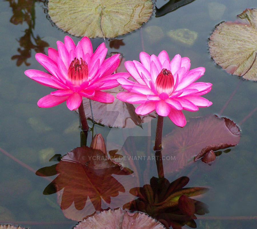 Hot Pink Splendor by ycrad64