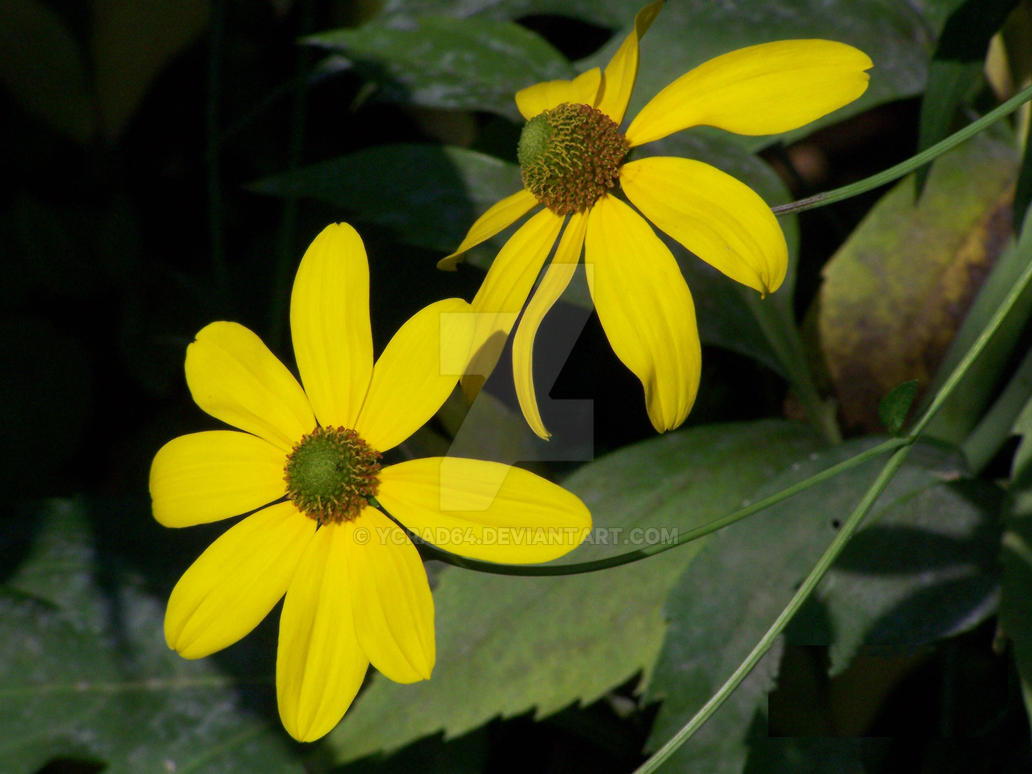 yellow daisies by ycrad64