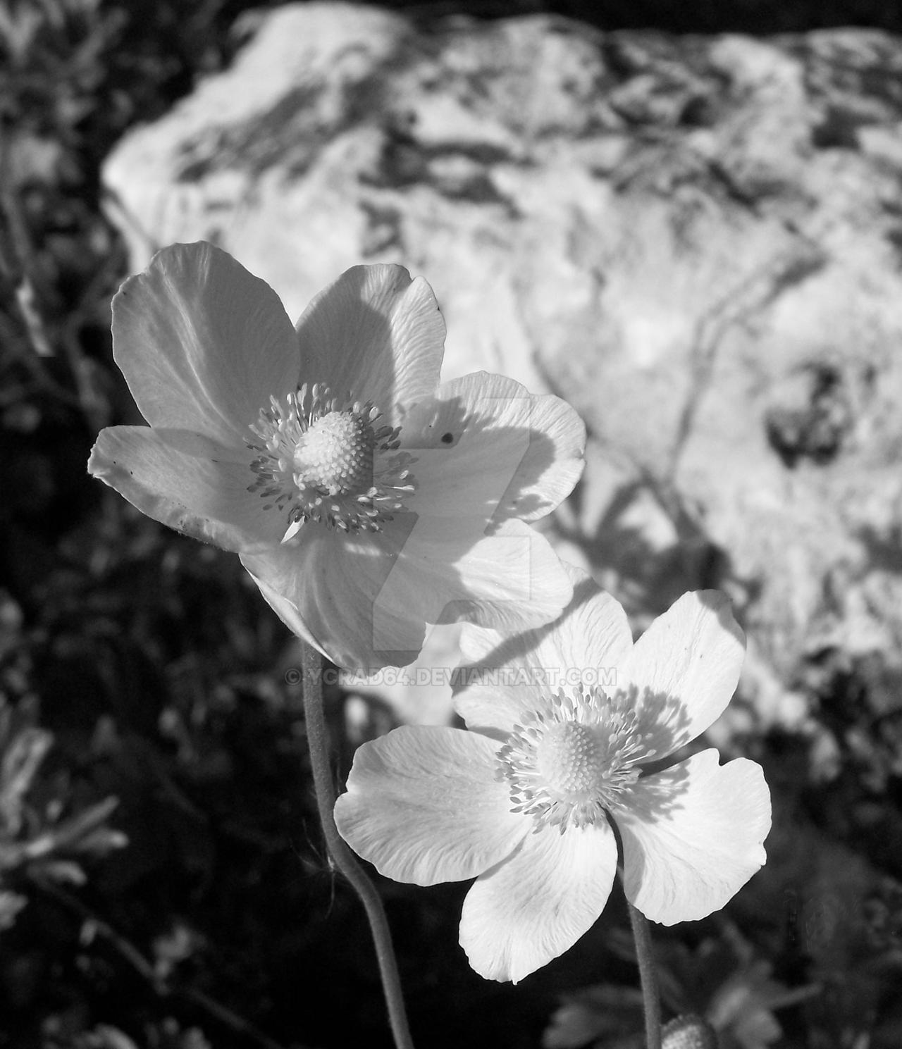 colorless beauty by ycrad64