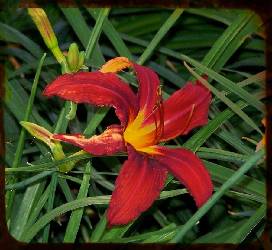 Tiger Lily by ycrad64