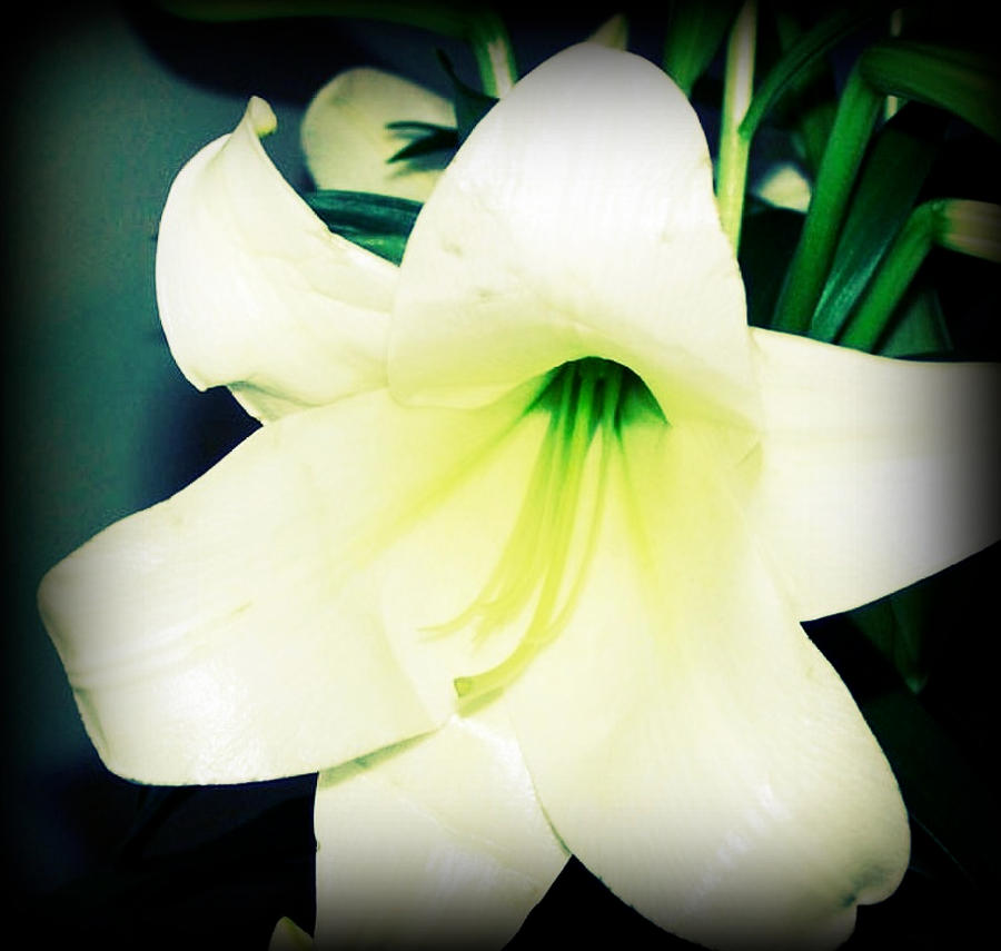 Easter Lily by ycrad64