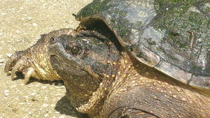 Snapping Turtle 20160529 115123