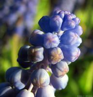 Blue Bud Macro by RobMitchem