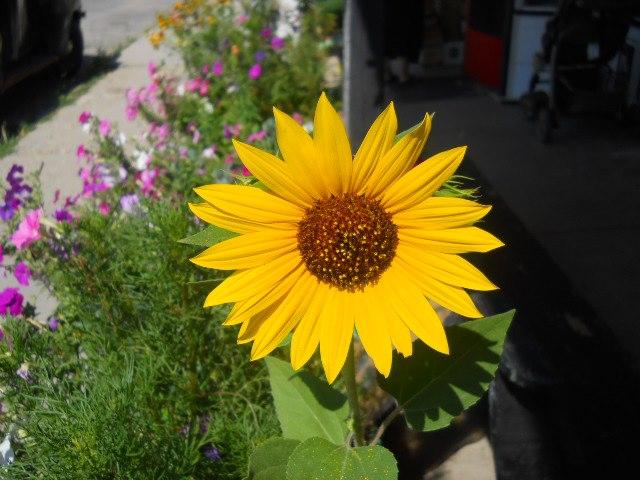Sunflower. by BarkingLizards