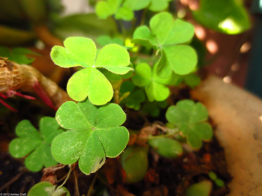 Lucky Clovers by AshleeCraft