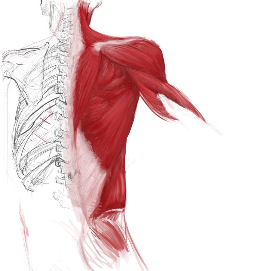 Anatomy Sketch by Erebus88